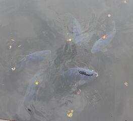 Karpfen #2 - Karpfen, schnappen, Wasser, Fisch, schwimmen, Spiegelkarpfen, fischen, angeln, Schreibanlass, Fischmaul, Weissfisch, Süßwasserfisch