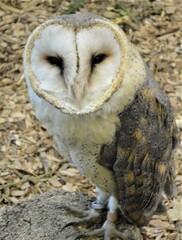 Schleiereule - Eule, dämmerungsaktiv, nachtaktiv, Nagetierjäger, Vogel, Greifvogel, Brutvogel