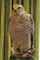 Junger Habicht - Greifvogel, Fleischfresser, tagaktiv, Vogel, Beizvogel