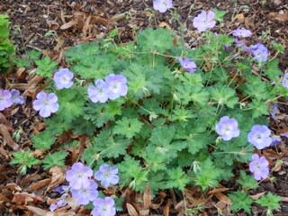 Storchenschnabel - Storchenschnabel, Blume, Pflanze, Zierpflanze, Heilpflanze