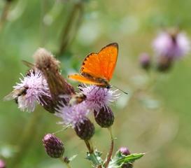 Schmetterling 5 - Schmetterling, Tagfalter, Feuerfalter, Dukaten-Feuerfalter
