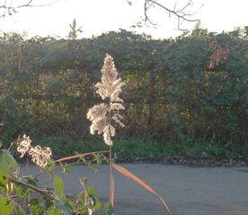 Schilfgras - Schilfgras, Schilfrohr, Süßgras, Schilf, Sumpfpflanze, Lichtkeimer, Naturbaustoff
