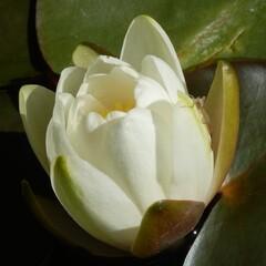 Weiße Seerosenblüte - Weiße Seerose, Nymphaea alba, Seerosengewächs, Seerose, weiß, Blüte, Teich, Wasserpflanze