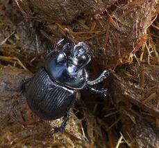 Mistkäfer - Käfer, Mistkäfer, Insekt, Frühlingsmistkäfer, Käfer, glänzen, schillern, krabbeln, Fühler, Insekt, Geotrupes vernalis, Zersetzer, Stoffkreislauf, schimmernd, glänzend