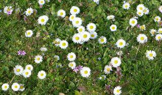Wiese - Wiese, Blumen, Blüten, Gräser, Unkraut, grün, Frühling, blühen, Garten, Natur, Kräuter, Gänseblümchen