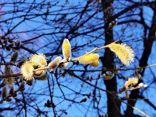 Weidenkätzchen im Frühling #8 - Weide, Blütenstand, Frühling, Frühjahr, blühen, Blätter, Salix, Laubbaum, Blatt, Ast, zweihäusig, männlich, weiblich, Kopfweide, Heilpflanze, Kätzchen, Weidenkätzchen, Palmkätzchen, Frühblüher, Frühling, blühen, Blüte, Pollen