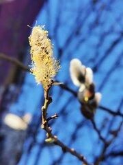 Weidenkätzchen im Frühling #9 - Weide, Blütenstand, Frühling, Frühjahr, blühen, Blätter, Salix, Laubbaum, Blatt, Ast, zweihäusig, männlich, weiblich, Kopfweide, Heilpflanze, Kätzchen, Weidenkätzchen, Palmkätzchen, Frühblüher, Frühling, blühen, Blüte, Pollen