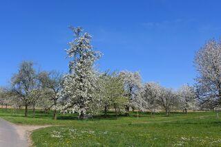 Obstbäume  - Kirschbaum, Kirschbaumblüte, Baumkrone, Blüte, Baum, Baumblüte, Birnbaum, Obstbaum, Obstbäume