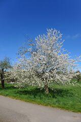 Kirschbaum - Kirschbaum, Kirschbaumblüte, Baumkrone, Blüte, Baum
