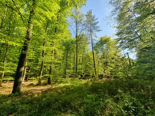 Buchenwald - Buche, Buchenwald, Jahreszeit, Färbung, Blätter, Wald, Laubbaum, Frühling
