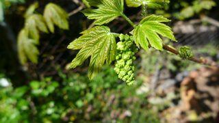 Bergahorn - Ahorn, Blatt, Ahornblatt, Laub, Bergahorn, Laubbaum, Blüte, Blütenstand, Blütenknospen