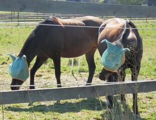 Pferde mit Masken - Biologie, Tiere, Haustiere, Nutztiere, Säugetiere, Unpaarhufer, Pferde, Roß, Fliegenschutz, Fliegenschutzmaske, Insektenschutz