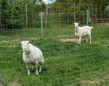 Hausziegen - Biologie, Tiere, Haustiere, Säugetier, Nutztier, Ziege, Geiß, Zicke, Paarhufer, Hausziege, Pflanzenfresser