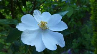 Rose - Rose, Schnittblume, Knospe, Rosengewächs, Rosenblüte, Staubgefäße, Blütenblätter