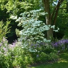 Blumen-Hartriegel - Blumen-Hartriegel, Blüten-Hartriegel, Blütenstand, Zierpflanze