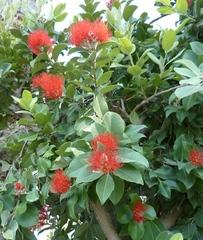 Eisenholzbaum - Parrotie, Persischer Eisenholzbaum, Persisches Eisenholz, Eisenbaum, Zaubernussgewächs, Sternhaare