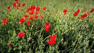 Mohnfeld - Mohn, rot Feld, Blüte, Klatschmohn, Naturwiese, Naturfoto, Blumenbild, Wildblüten
