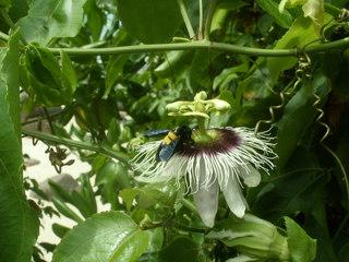 Insekt auf einer Blüte - Pflanze, bestäuben, Blüte, Insekt, Passionsblume