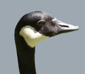 Kanadaganskopf - Vogel, Vögel, Gans, Kanada, Branta canadensis, Entenverwandte, Entenvögel, Gänsevögel, Gänse, Meergänse, Kinnband