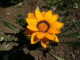 Mittagsblume - Dorotheanthus bellidiformis, Mittagsblume, Blume, gelb, Korbblüter