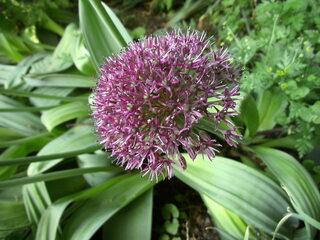 Zierlauch - Alliceae, Lauchgewächse, Kugel, Staude, Knollenpflanze, Bienenweide, Samen, Gartenkugel-Lauch, Zierpflanze
