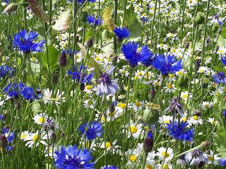 Feldblumen - Kamille, Kornblume, Mohn, Schlafmohn, Kapsel, Klatschmohn, Fruchtstand, Blüten, bunt, blau, weiß, Frühjahr