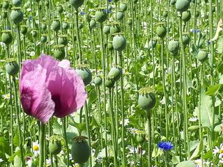 Mohnblüte im Mohnfeld - Mohn, Schlafmohn, Papaver, Blüte, Fruchtknoten, Samen, Samenanlagen, Kapsel, Stängel