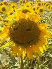 Freundliche Sonnenblume - Sonnenblume, Pflanze, Sonne, Sommer, Feld, Ölpflanze, Korbblütler