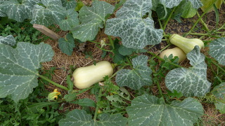 Butternutkürbis - Kürbis, Gartenpflanze, Kürbisgewächs, Gemüsekürbis, Gartenkürbis, Butternut, Butternutkürbis