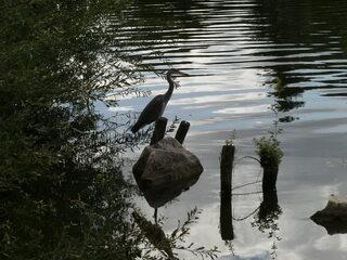 Graureiher - Graureiher, Gefieder, Standvogel, Schreitvogel, grau, Fischreiher, Tarnung