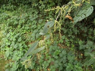 Samen der männlichen Brennessel - Brennessel, Brennesselgewächs, einjährig, Brennhaare, Lebensraum für Schmetterlinge, Heilpflanze, Wildgemüse, harntreibend, Faserpflanze, Ölpflanze