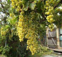 Trauben - Weintraube, Weinbeeren, Wein, Weinlese, Landwirtschaft, Weinbau, Trauben, Herbst