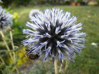 Kugeldistel mit Biene - Distel, Kugeldistel, Echinops, Korbblütler, Asternartige, krautig, Pflanze, Rhizom, stachelig, Stacheln, silbrig
