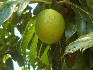 Brotfrucht - Brotfrucht, Maulbeergewächs, Nutzpflanze, Laubblätter, Fruchtstand, zweikeimblättrig, grün