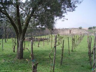 Pompeji - neue Weinberge - Italien, Pompeji, Weinberg, Reben, Weinbau, Rebe, Rebstock, Weinrebe