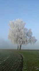 Birken im Nebel #1 - Birke, Herbst, Nebel, Raureif, Stimmung, Luft, Luftfeuchtigkeit, Dunst, Wolke, Tau, Niederschlag, Sicht, Sichtbehinderung, Wasser, diesig, trüb, neblig, Wetter, Wetterphänomen