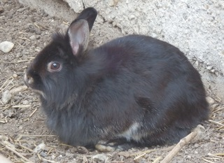 Schwarzes Kaninchen - Kaninchen, schwarz, Haustier, Säugetier, Freilauf, Pflanzenfresser, Leporidae, Karnickel, Nagetier, Fell, Ohren