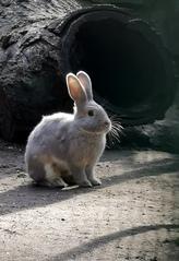 Kaninchen - Säugetier, Kaninchen, Wildtier, Fell, Löffel, heimisch, Nagetier, Karnickel, hasenartig, Haustier