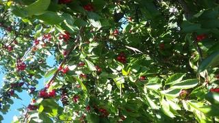 Kirschbaum von unten - Kirschbaum, Obstbäume, Geäst, Steinobst, Früchte, Kirschen, Blätter, Äste