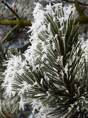Raureif - Raureif, Winter, Nadelbaum, Eis, Schnee, weiß, Pflanze, Niederschlag, fest, Resublimation, Luftfeuchtigkeit, nadelförmig, Eiskristall, bizarr, Wetter, Kristall, Nebel