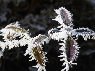Raureif - Raureif, Winter, Eis, Schnee, Raureif, weiß, Pflanze, Niederschlag, fest, Resublimation, Luftfeuchtigkeit, nadelförmig, Eiskristall, bizarr, Wetter, Kristall, Nebel