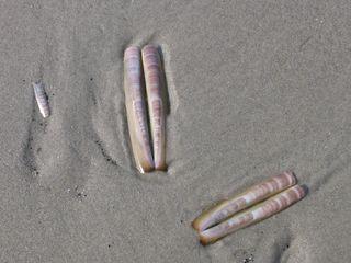 Schwertmuschel - Schwertmuschel, Muschel, Muschelschale, Schale, Strand, Sand, Nordsee, Amerikanische Schwertmuschel, eingeschleppt