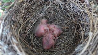 Amselnest - Amsel, kleiner Vogel, junger Vogel, Vogel, Jungvogel, jung, Nestling, Schreibanlass, Nest, Gelege, Brut, Amseljungen