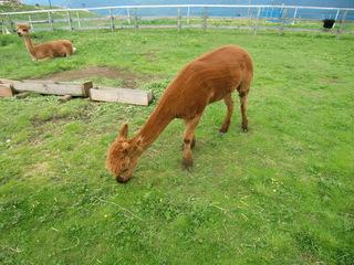Alpaka - Alpaka, Pako, Vicugna pacos, Kamel, Wolle, Peru, Neuweltkamel, Herdentier, Fluchttier, Lama pacos, Zucht, Nutztier