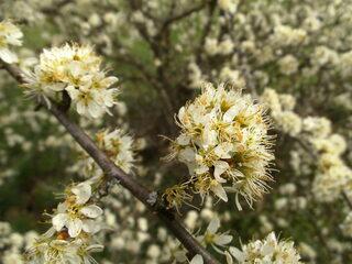 Schlehenblüte - Schlehendorn, Schlehe, Sauerpflaume, Heckendorn, Schwarzdorn, Deutsche Akazie, Steinobst, Wildfrucht, Heilpflanze, Blüte, Staubgefäße
