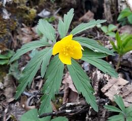Gelbes Windröschen - Blume, Windröschen, Frühblüher, Frühling, Auwald, Hahnenfußgewächs, Hahnenfuß, giftig, Giftpflanze, Hochblatt, Hochblattquirl