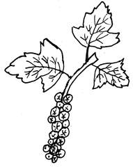 Johannisbeeren - Johannisbeeren, Anlaut J, Beeren, Beerenobst, Früchte, Rispe, Stachelbeergewächs, Ribisl, Träufle