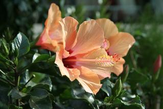 Hibiskus - Blume, Blüte, Hibiskus, Hibiskus, Eibisch, Malvengewächs, rot, zwei, Hibiskusblüte, Blütenblätter, Staubblätter, Stempel, rot, Hibiscus, Malve