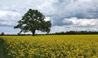 Rapsfeld mit Baum - Rapsfeld, Baum, Frühling, Wolken, Raps, Rapsblüte, Natur, Öl, Nutzpflanze, Rapsöl, Kreuzblütler, gelb