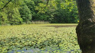 Waldteich mit Teichrosen - Teich, Waldteich, Meditation, Schreibanlass, Teichrosen, gelb, Blüten, Graureiher, Suchbild